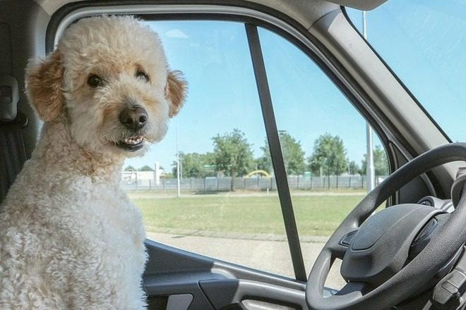 Пес за рулем авто
