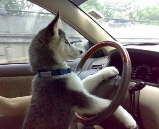 Собака рулит машиной