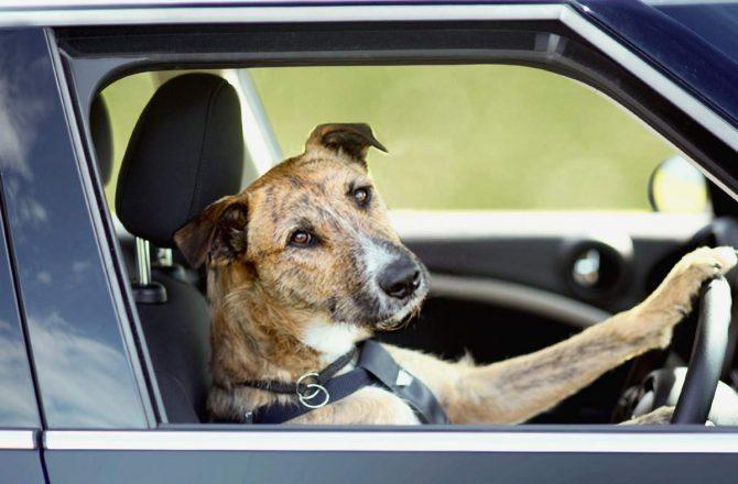 Собачка за рулем машины