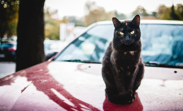 Кошка на капоте