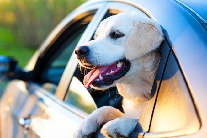 Собака выглядывает из окна авто