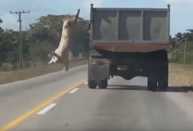 Свинья выпрыгнула из грузовика
