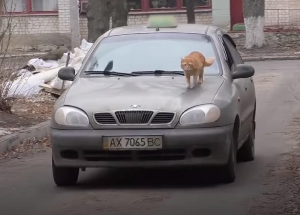 Кот на капоте авто