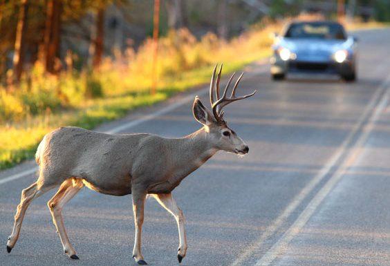 Животное переходит дорогу перед машиной