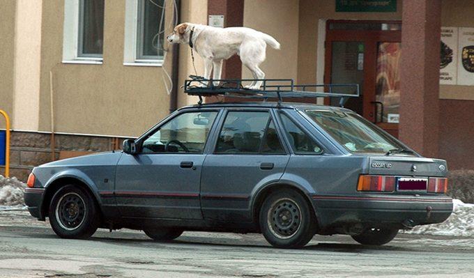 Собака на крыше авто