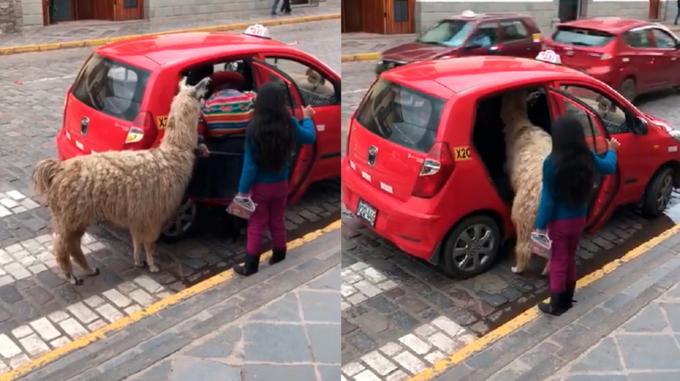 Альпака в машине с пассажирами
