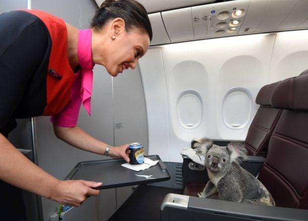 Коала на борту самолета