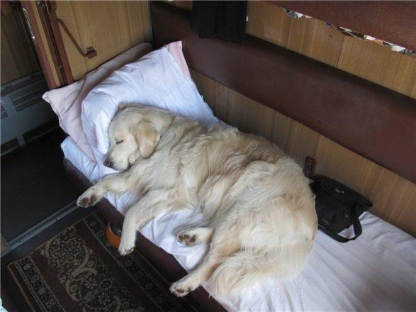 Собака лежит в купе поезда
