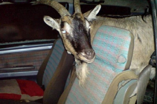Коза в авто